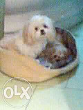 puppies for sale Odessa