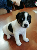 Jack Russell Terrier puppy for sale Donetsk
