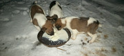 I will sell puppies of a fox terrier Ильинцы